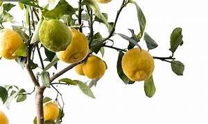 Wie Lagert Man Zitronen : zitronenbaum ableger so vermehren sie ihren baum ~ Buech-reservation.com Haus und Dekorationen