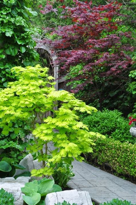 japanese maples care growing and care for japanese maples gardens beautiful and backyards