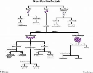 Gram-positive Bacteria - Microbiology