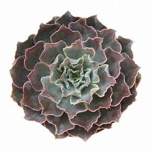 1301 best images about Echeverias on Pinterest