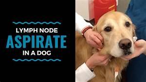 Lymph Node Aspirate In A Dog
