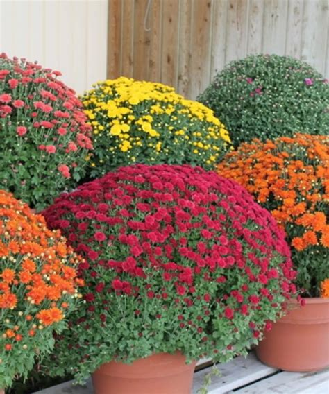Beautiful Hardy mums in an assortment of colors and sizes ...