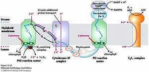 Diagram  Light Reactions Photosystem Diagram