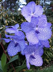 Orchidee Vanda Pflege : vanda coerulea gro r schener orchideen ~ Lizthompson.info Haus und Dekorationen