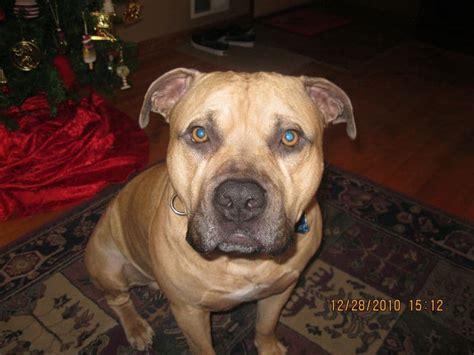 pitbull mastiff mix  imporant facts   gentle