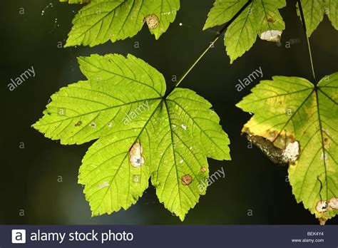 Leaves Of Sycamore Tree (acer Pseudoplatanus) In Forest