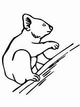 Koala Coloring Bear Tree Climbing Printable Drawing sketch template