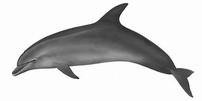 Dolphin Bottlenose Roaz Tursiops Truncatus Cetaceans