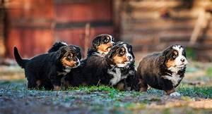 Berner Sennenhund Gewicht : berner sennenhund welpen ~ Markanthonyermac.com Haus und Dekorationen