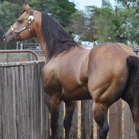 horse muscular horses quarter butt animals boy muscle stallion bay animal muscles pretty most breeds strong american even why fernandez