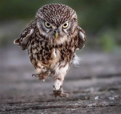 Walking Owls Is The Funniest Thing Ever
