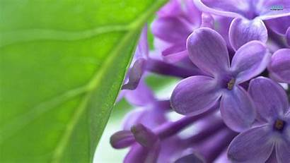 Lilac Wallpapers Flower