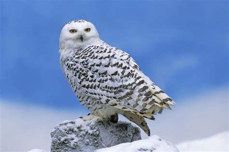 snowy owl the biggest animals kingdom
