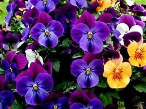 Garten Blumen Bilder : bilder von violett garten stiefm tterchen blumen veilchen viel ~ Whattoseeinmadrid.com Haus und Dekorationen