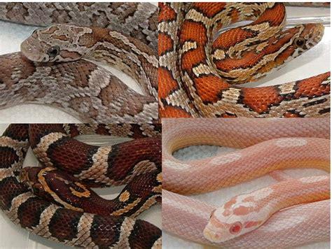 corn snake colors zach brian abby dijon artificial selection in corn