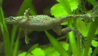 african dwarf frog hymenochirus boettgeri profile with