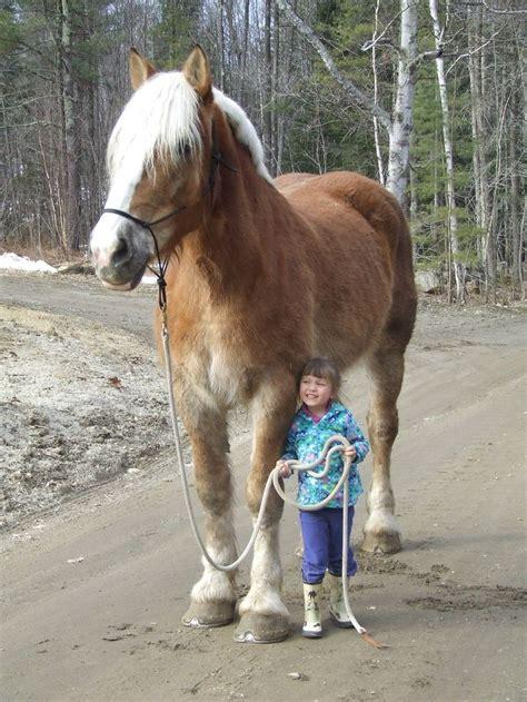 horse horses draft gentle belgian giant maine farm pretty huge kid animal giants cute western breeds animals heights pony funny