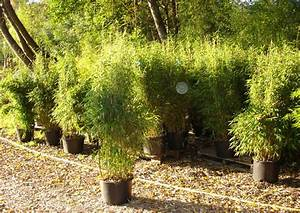 Bambus Pflanzen Sichtschutz : bambus will hoch hinaus und nicht zu den nachbarn bambus wissen was ist bambus bambus ~ Markanthonyermac.com Haus und Dekorationen