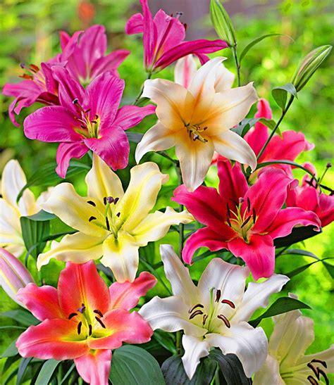 baum lilien überwintern baum lilien mix just pretty 1a blumenzwiebeln baldur garten
