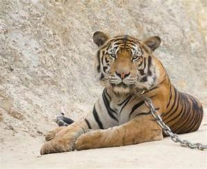 Abused tigers and orphaned elephants: The cruel truth ...