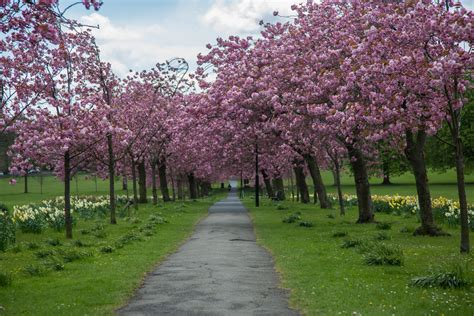 blossoming cherry trees blossoming cherry tree free stock photo public domain pictures