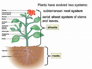 Plant Structure & Growth - ppt video online download