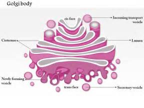 0714 Golgi Body Medical Images For Powerpoint Slide01