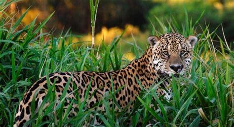 Black Jaguar Habitat by Jaguar Basic Facts About Jaguars Defenders Of Wildlife