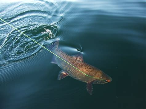 brown trout wallpaper gallery