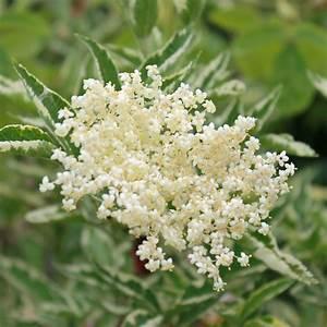 Holunder Black Beauty Standort : holunder pflanzen sambucus nigra wikipedia download pdf ~ Michelbontemps.com Haus und Dekorationen