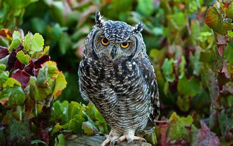 Owl Wallpapers by Owl Wallpapers Hd Desktop Pixelstalk Net