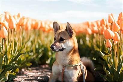 Corgi Shiba Inu Mix Dog Breed Mixed