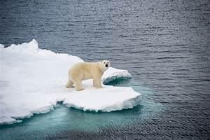 How Shrinking Sea Ice May Be Shrinking Polar Bears