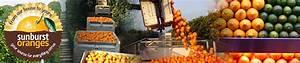 Sunburst Oranges  Sunburst Oranges  U2013 The Life Cycle Of An