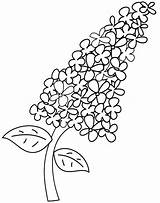 Lilac Coloring Pages sketch template