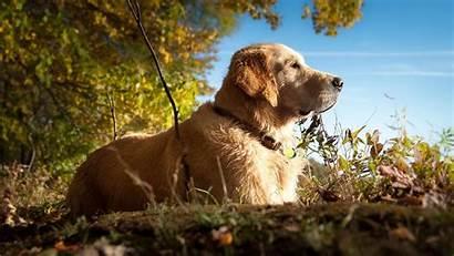 Dog Labrador Retriever Golden Dogs Forest Animals