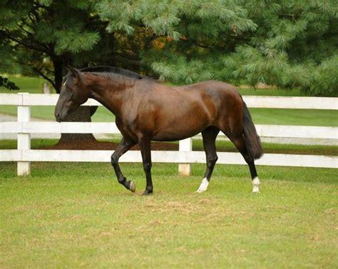 andalusian horse horses mercuria seal spanish bay brown