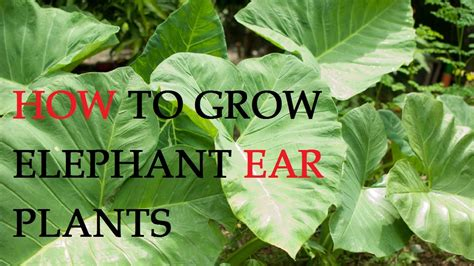 how to grow elephant ears how to grow elephant ear plants youtube
