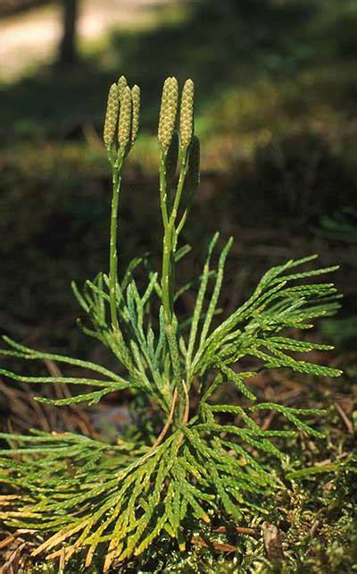 Latvijā augošo staipekņu attēli