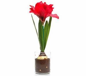 Amaryllis Im Glas : lumida flora leuchtende blumen amaryllis glas timerfunktion h page 1 ~ Eleganceandgraceweddings.com Haus und Dekorationen