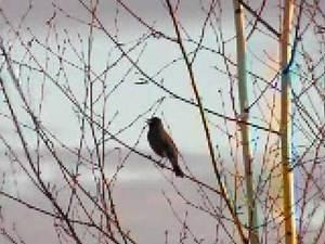American Robin 2008