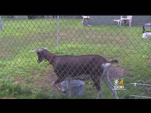 3 Accused Of Animal Cruelty For Blowing Marijuana Smoke In Goat's Face
