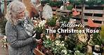 Hellebores: The Christmas Rose