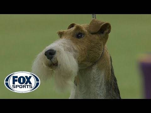King the Wire Fox Terrier wins the 2019 Westminster Kennel Club Dog Show Terrier Group | FOX SPORTS