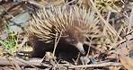 Echidnas - Our little Spiny Anteater