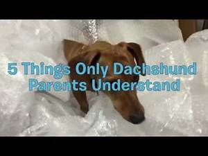 5 Things Only Dachshund Parents Understand