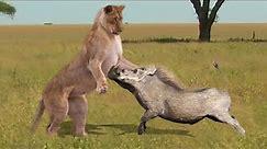 Crazy Warthog attacks Lion, Leopard, Crocodile, Rhinoceros, Wild Animals Attack