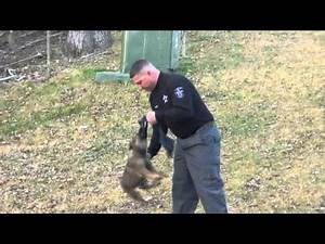 Badass future police dog!!! 8 week old Jax doing rag work.