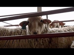 Return of the Tunis Sheep