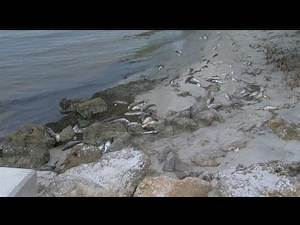 Red tide killing sea life in Charlotte County